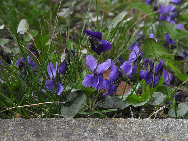 Photograph - Violets by Ernst Dittmar