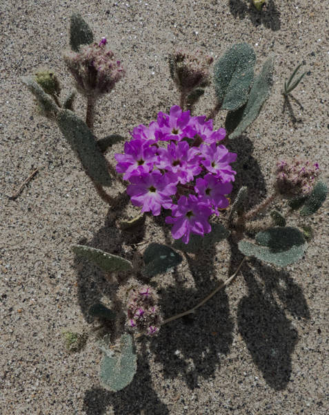 Photograph - Violets In The Sand by Jeremy McKay