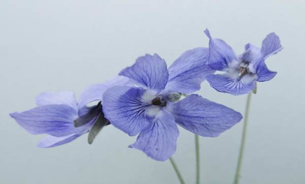 Photograph - Violets On Blue by Barbara St Jean