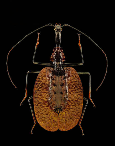 Photograph - Violin Beetle by Gary Shepard