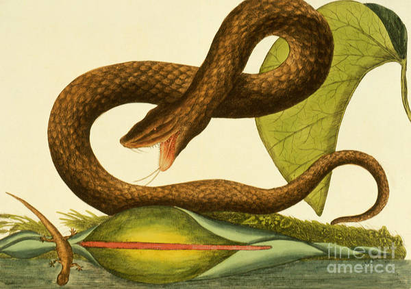 Wall Art - Painting - Viper Fusca by Mark Catesby