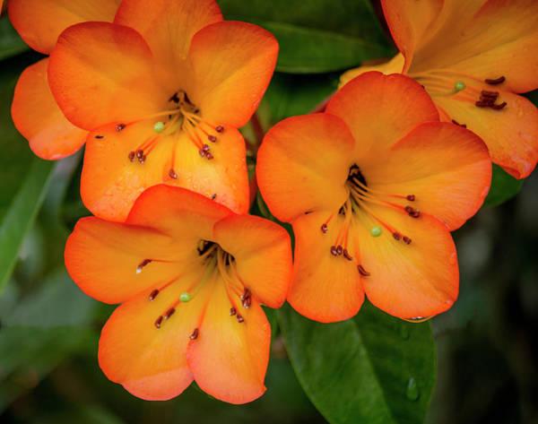 Photograph - Vireya Rhododendron  by Teresa Wilson