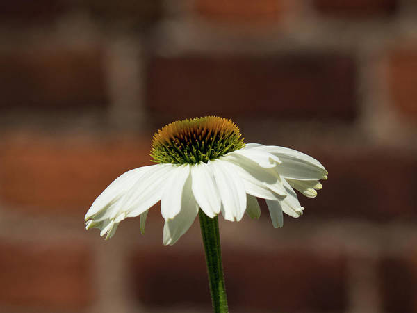 Photograph - Virgin Coneflower by Robin Zygelman