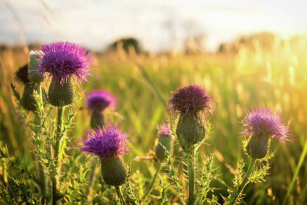 Photograph - Virginia Thistle by Ryan Wyckoff