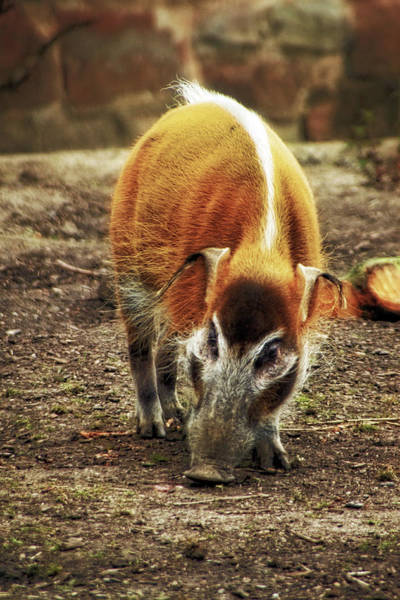 Photograph - Red River Hog  by Doc Braham