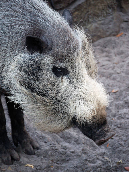 Photograph - Visayan Warty Pig by Donna Proctor