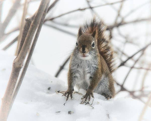 Squirrel Photograph - Visit From A Little Red Squirrel by Susan Capuano