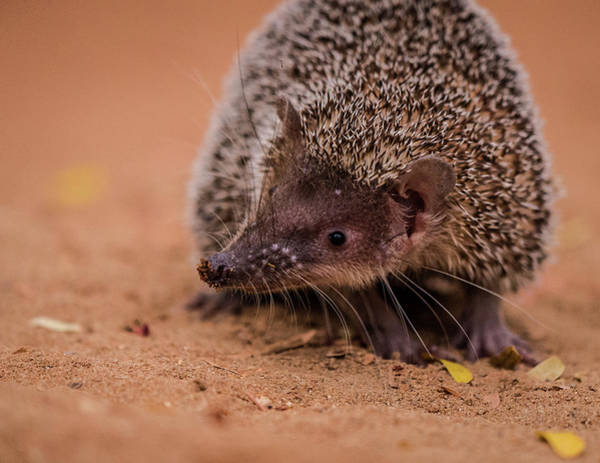 Photograph - Visit With A Tenrec by Alex Lapidus
