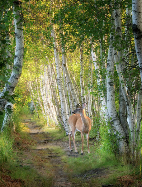 Photograph - Visiter In The Woods by Darylann Leonard Photography