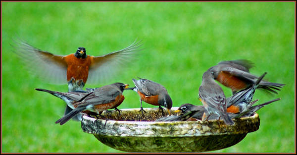 Photograph - Visiting Robins by Ginger Wakem