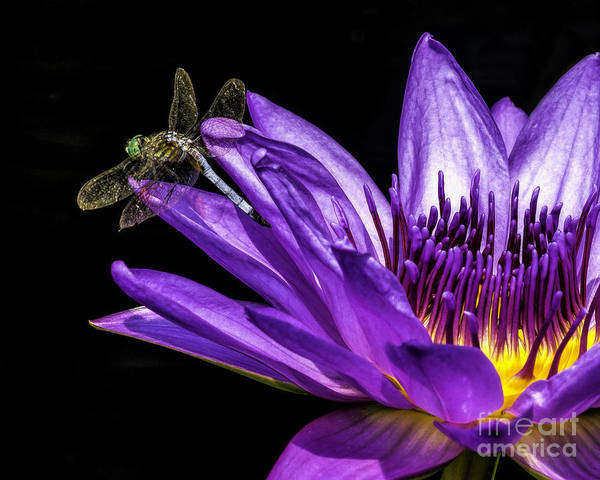 Wall Art - Photograph - Visitor On The Water Lily by Nick Zelinsky