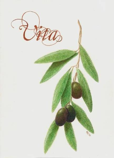 Olive Branch Drawing - Vita by Mary Rogers