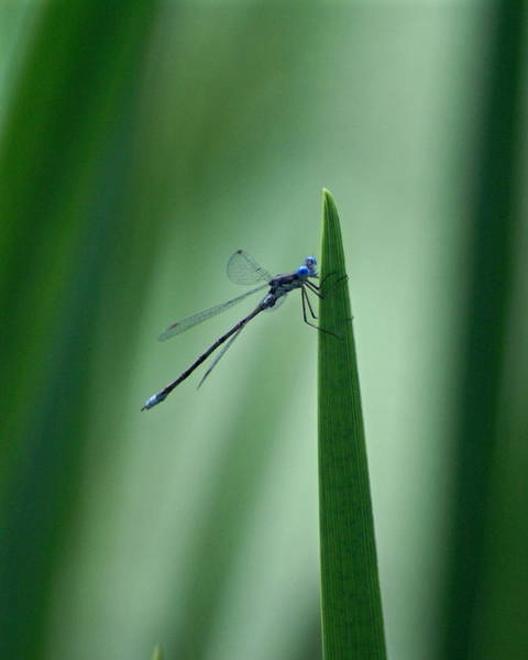 Photograph - Vivid Dancer Dragonfly by Ben Upham III