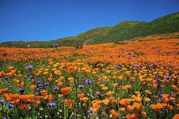 Photograph - Vivid Memories Of The Walker Canyon Superbloom by Lynn Bauer