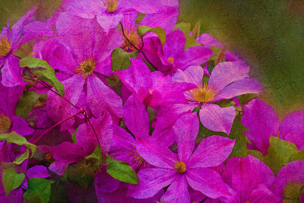 Photograph - Vivid Pink Clematis by Anna Louise