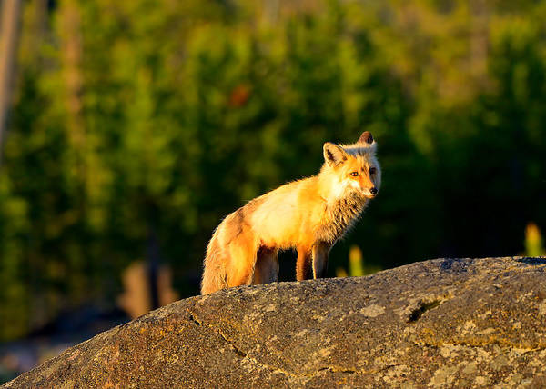 Photograph - Vixen by Greg Norrell