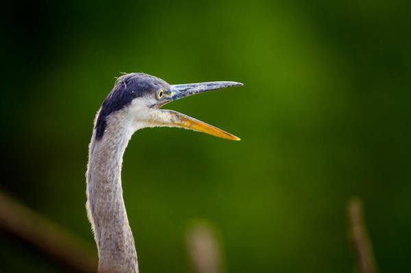 Photograph - Vocal Heron by Jeff Phillippi