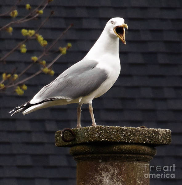 Photograph - Vocal Seagull by Lita Kelley