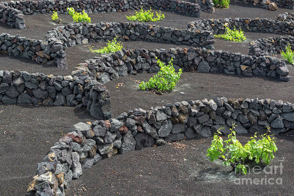Vineyard Photograph - Volcanic Vineyards by Delphimages Photo Creations