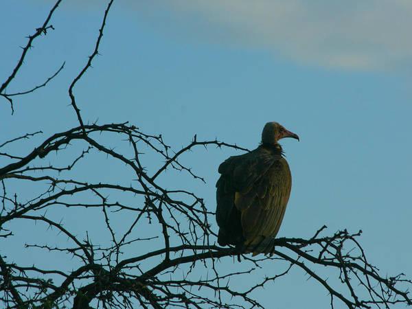 Photograph - Vulture Against The African Sky by Karen Zuk Rosenblatt