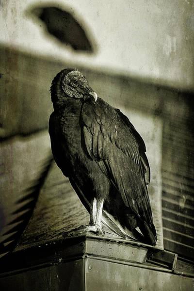 Anhinga Photograph - Vulture by Cindi Ressler