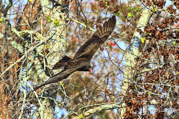Photograph - Vulture Glide by Deborah Benoit