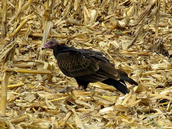 Photograph - Vulture In The Corn Field  by Keith Stokes