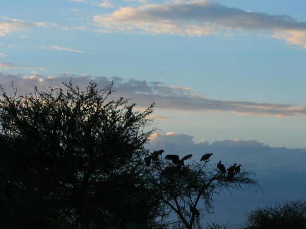 Photograph - Vultures In The African Acacia Trees by Karen Zuk Rosenblatt