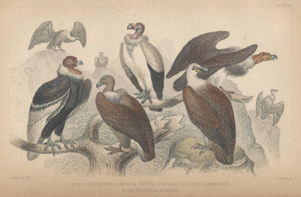 Wall Art - Drawing - Vultures by Dreyer Wildlife Print Collections