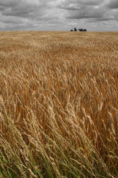 Photograph - W Organic Wheat by Dylan Punke