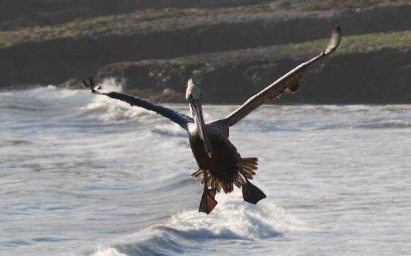 Photograph - Wacky Pelican In Flight by Christy Pooschke