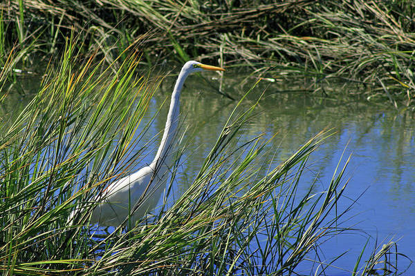 Photograph - Wading For Food by Bill Barber