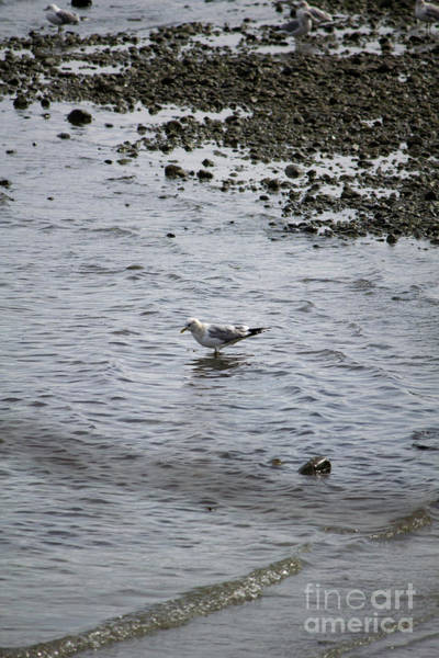 Photograph - Wading Gull by Donna L Munro