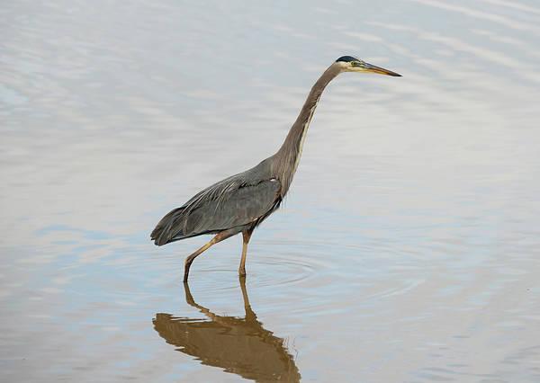 Photograph - Wading Heron by Loree Johnson