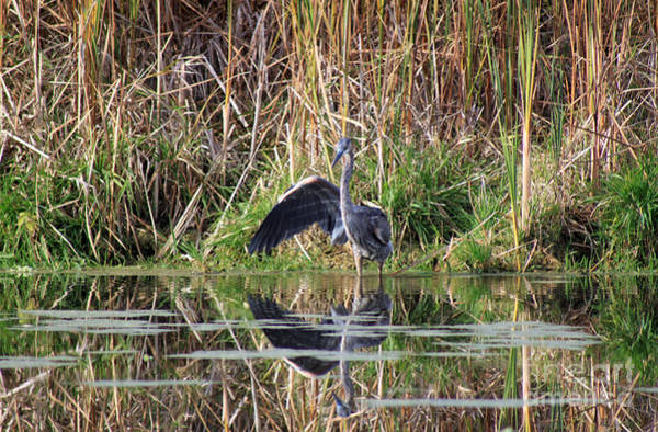 Photograph - Wading In Heron by Cathy Beharriell
