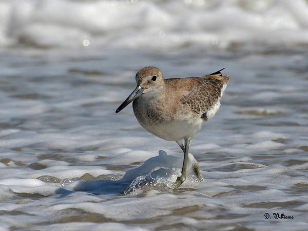 Photograph - Wading Willet by Dan Williams