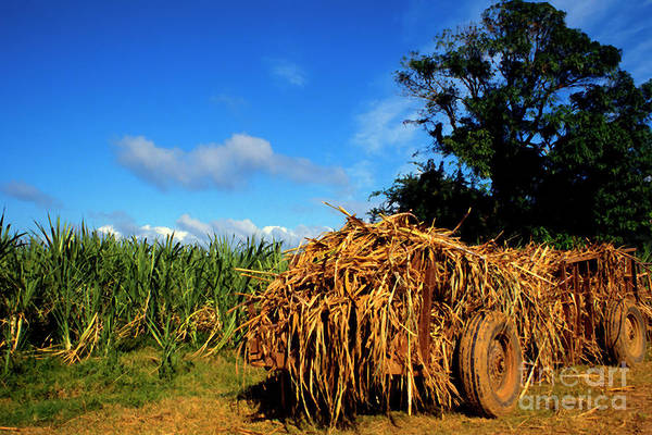 Photograph - Wagon Loaded With Sugarcane by Thomas R Fletcher