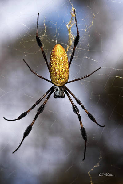 Golden Orb Spider Photograph - Waiting by Christopher Holmes