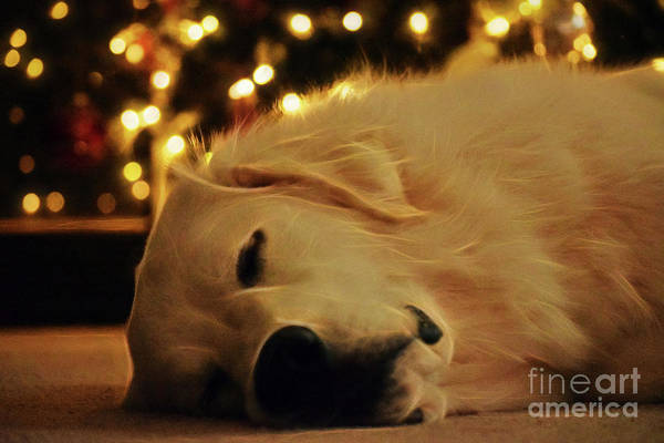 Great Pyrenees Photograph - Waiting For Santa by Patti Whitten