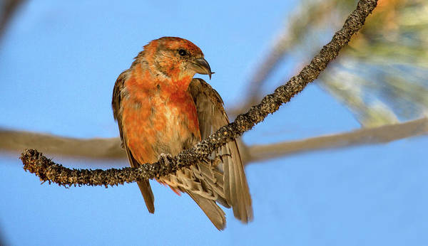Crossbill Photograph - Waiting For Water   by Don Henderson