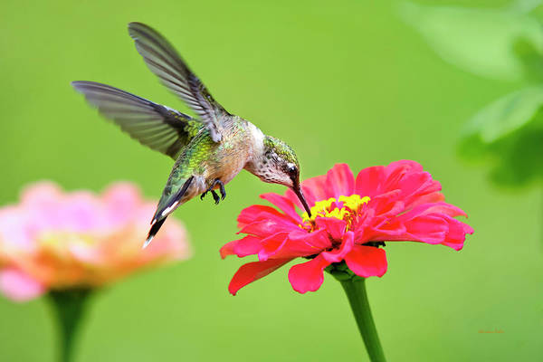 Beautiful Hummingbird Photograph - Waiting In The Wings by Christina Rollo
