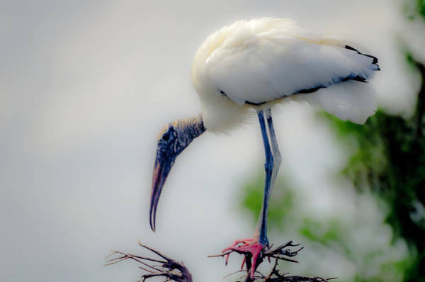Photograph - Wakodahatchee Stork by Wolfgang Stocker
