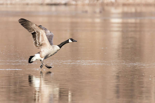 Photograph - Walk On Water Goose by Patti Deters