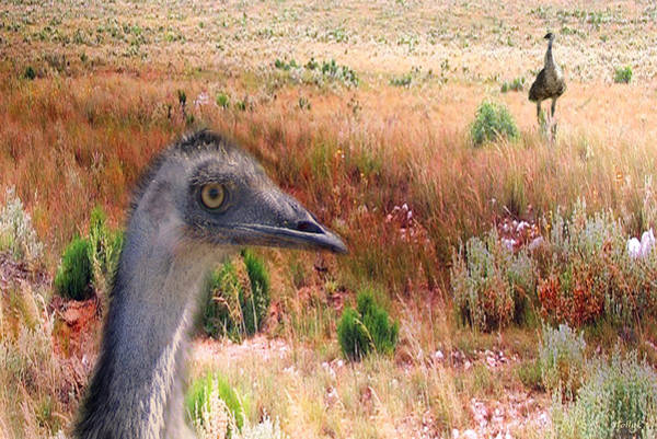 Emu Photograph - Walkabout by Holly Kempe
