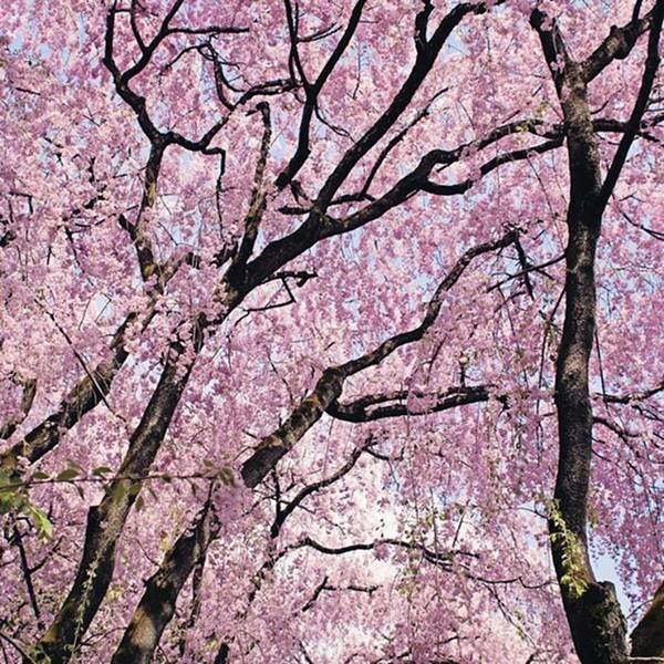 Japan Photograph - Walking Beneath Giant Cherry Blossom by Margaret Goodwin