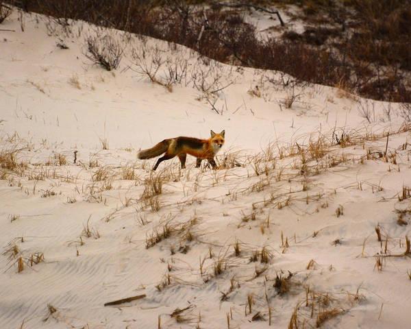 Photograph - Walking Fox by Raymond Salani III