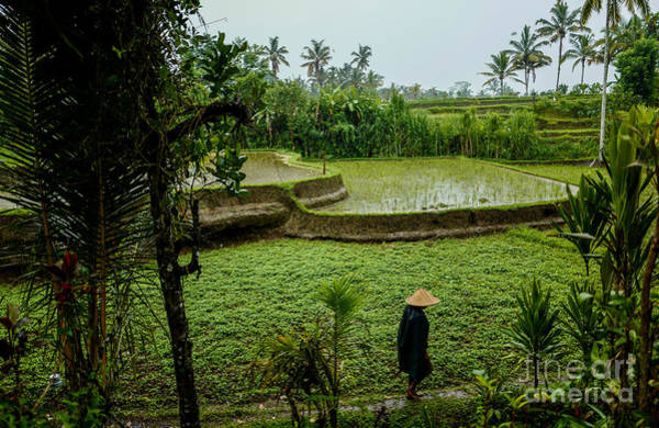 Photograph - Rice Fields by M G Whittingham