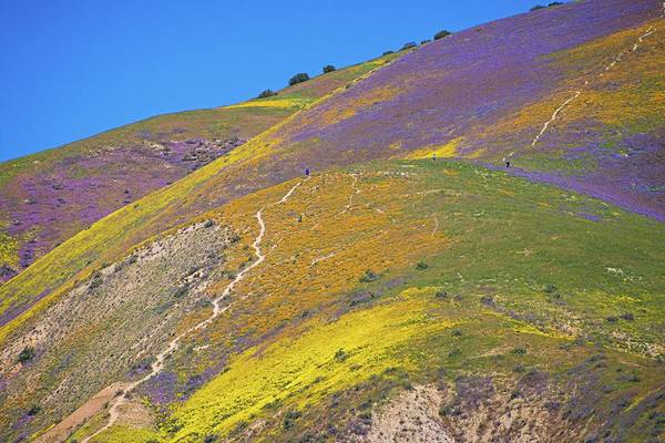 Photograph - Walking In Wildflowers - Superbloom 2017 by Lynn Bauer