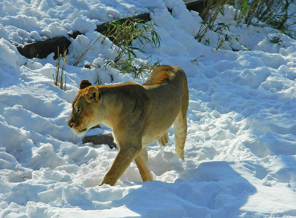 Lion In Winter Photograph - Walking On The Wild Side by Emmy Marie Vickers