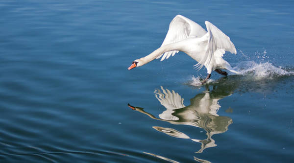 Photograph - Swan Walking On Water - Rhine River Germany by Tatiana Travelways